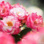 都会の中心でたくさんのバラを見れる、中之島公園バラ園その2