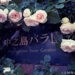都会の中心でたくさんのバラを見れる、中之島公園バラ園その1