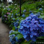初心者でも簡単、デジイチで紫陽花(アジサイ)を綺麗に撮る方法