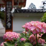 京都のあじさい寺、三室戸寺に行ってきました~その1~