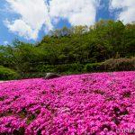 滝谷花しょうぶ園で、満開の芝桜を見てきました