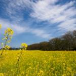 20160416 P4160811 Edit 150x150 - 藤原宮跡の菜の花畑を撮る