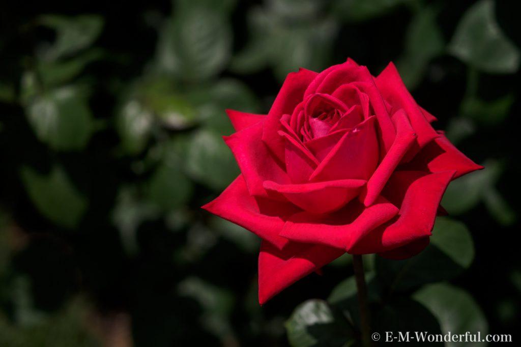 20150517 P5170238 1024x682 - 都会の中心でたくさんのバラを見れる、中之島公園バラ園その2