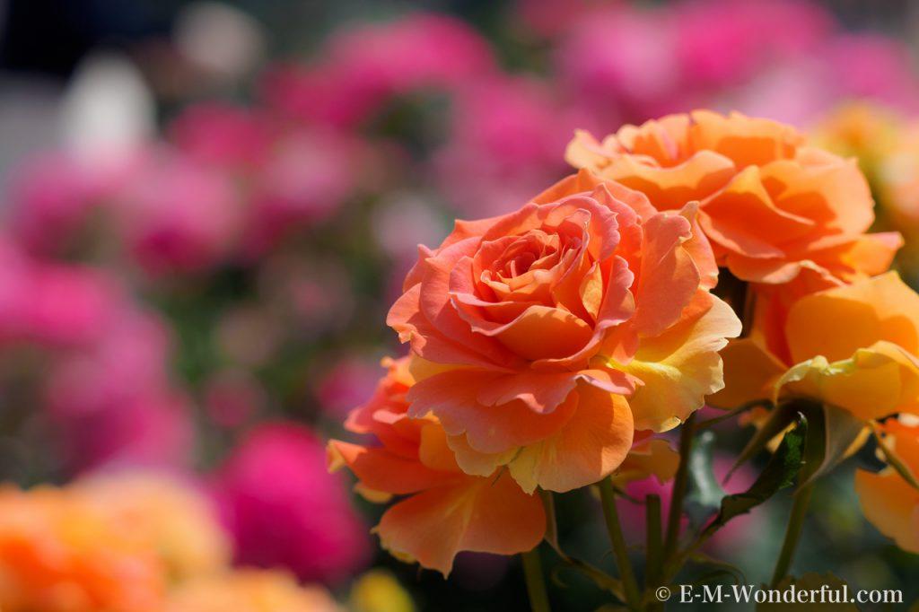 20150517 P5170413 1024x682 - 都会の中心でたくさんのバラを見れる、中之島公園バラ園その2