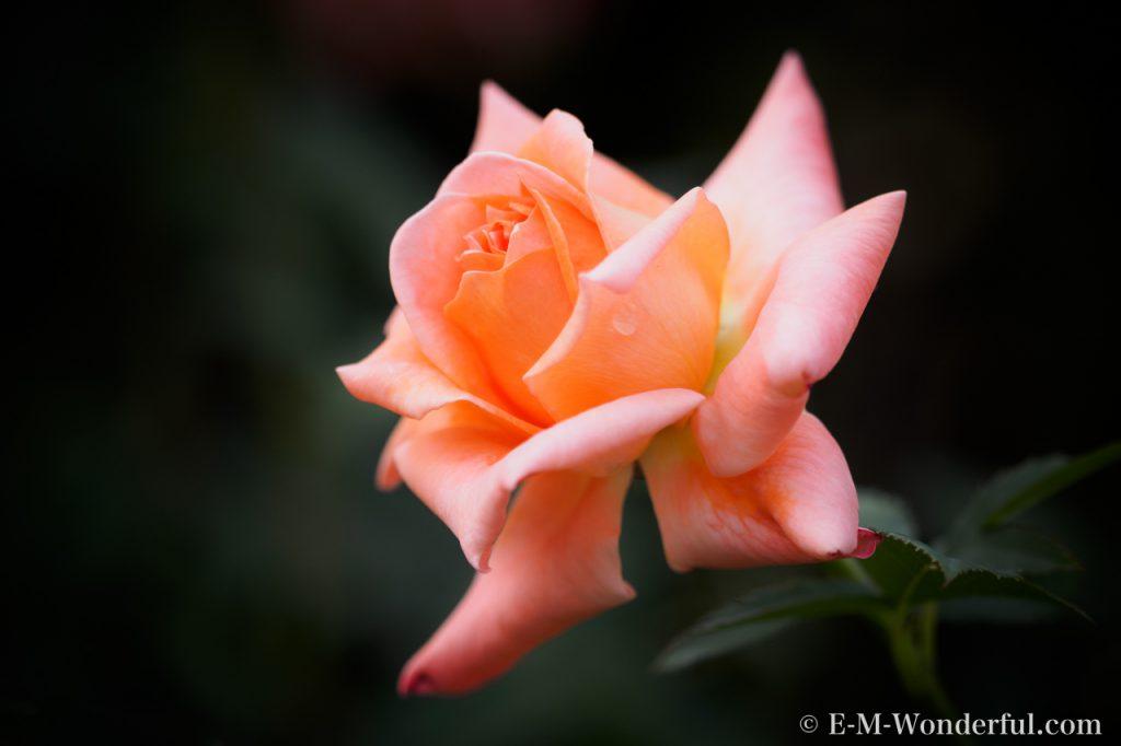 20150517 P5170484 1024x682 - 初心者でも簡単、デジイチでバラを綺麗に撮る方法