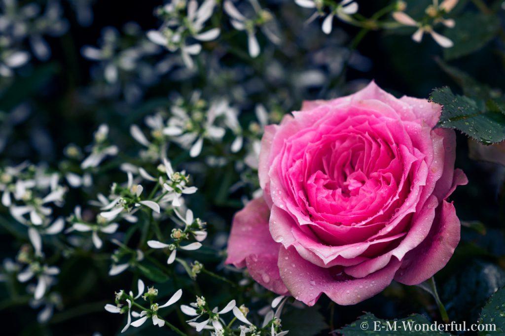 20160502 P5021564 2 1024x682 - 初心者でも簡単、デジイチでバラを綺麗に撮る方法