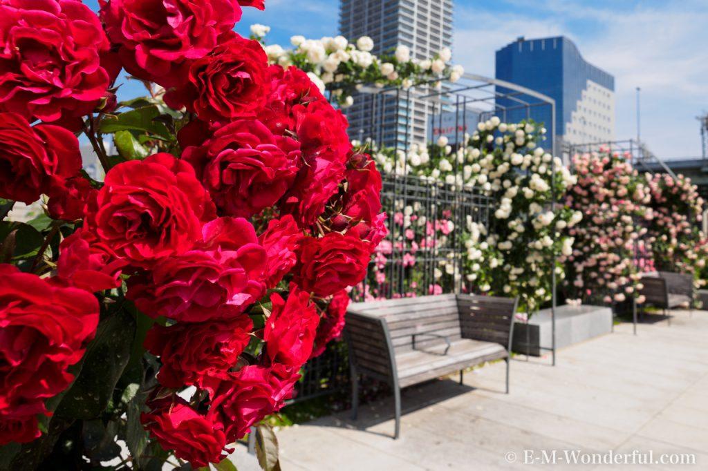 20160515 P5150665 1024x682 - 初心者でも簡単、デジイチでバラを綺麗に撮る方法