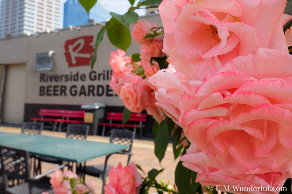20160515 P5150691 1024x682 - 都会の中心でたくさんのバラを見れる、中之島公園バラ園その2