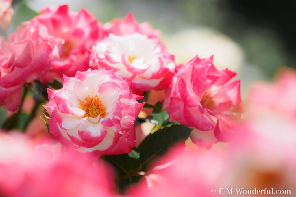 20160515 P5150761 1024x682 - 都会の中心でたくさんのバラを見れる、中之島公園バラ園その2