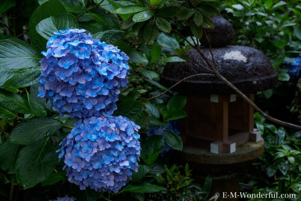 20150627 P6270004 1024x682 - 初心者でも簡単、デジイチで紫陽花(アジサイ)を綺麗に撮る方法