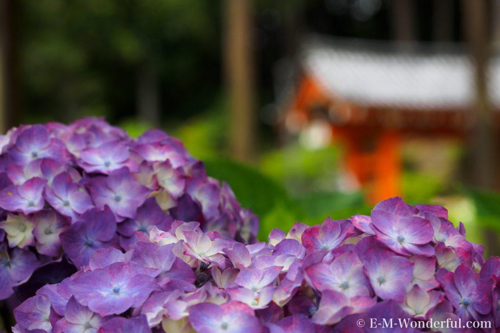20160611 P6110198 1024x682 - 京都のあじさい寺、三室戸寺に行ってきました~その2~