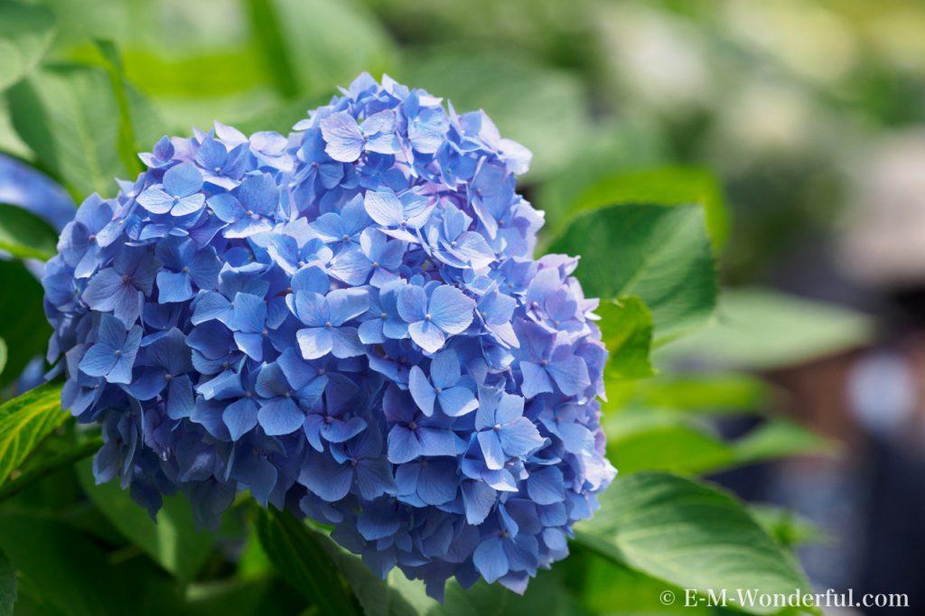 20160611 P6110262 1024x682 - 初心者でも簡単、デジイチで紫陽花(アジサイ)を綺麗に撮る方法
