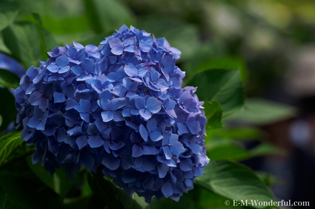 20160611 P6110262 2 1024x682 - 初心者でも簡単、デジイチで紫陽花(アジサイ)を綺麗に撮る方法