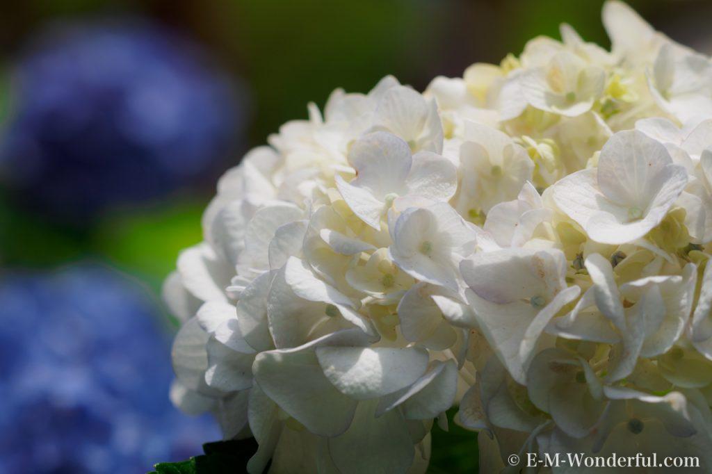 20160611 P6110320 1024x682 - 初心者でも簡単、デジイチで紫陽花(アジサイ)を綺麗に撮る方法