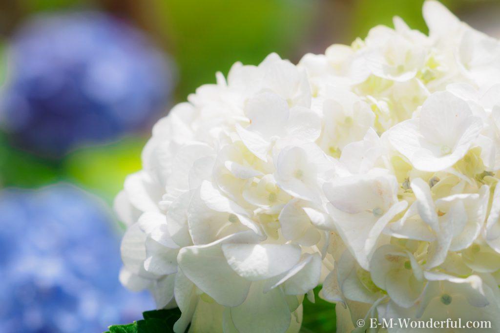 20160611 P6110320 2 1024x682 - 初心者でも簡単、デジイチで紫陽花(アジサイ)を綺麗に撮る方法