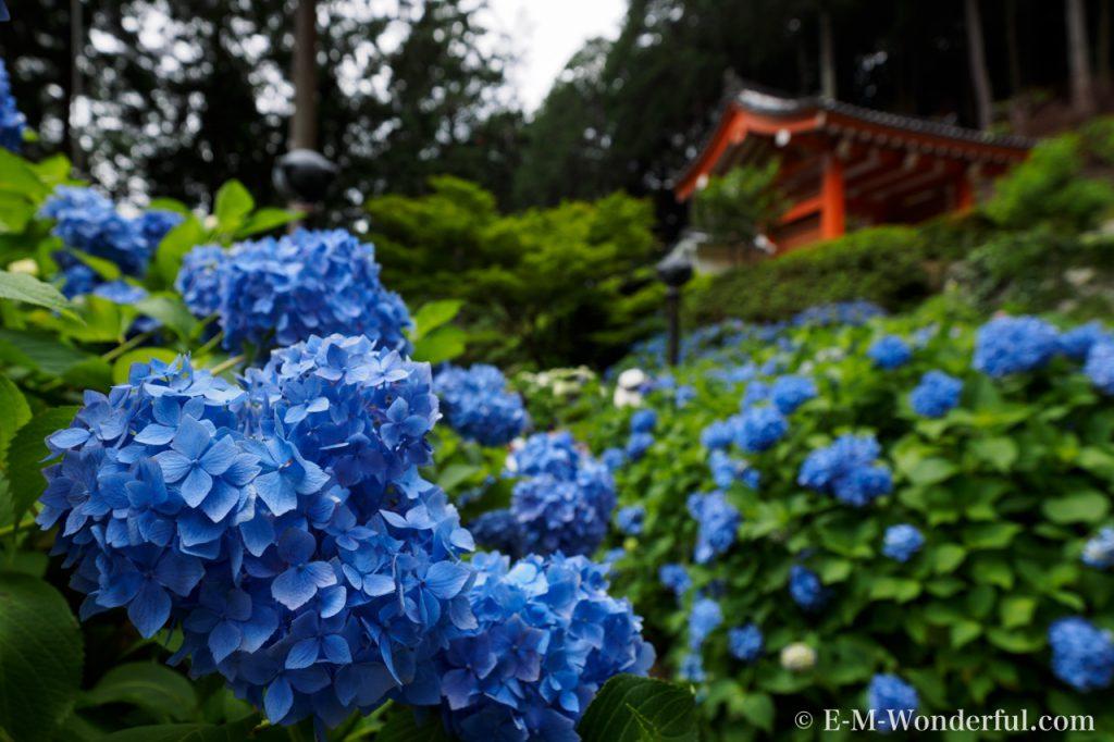 20160611 P6110342 1024x682 - 京都のあじさい寺、三室戸寺に行ってきました~その2~