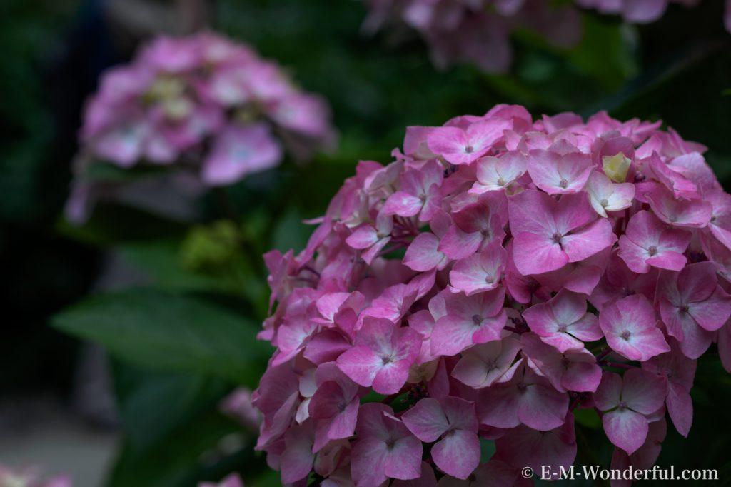 20160611 P6110372 2 1024x682 - 初心者でも簡単、デジイチで紫陽花(アジサイ)を綺麗に撮る方法