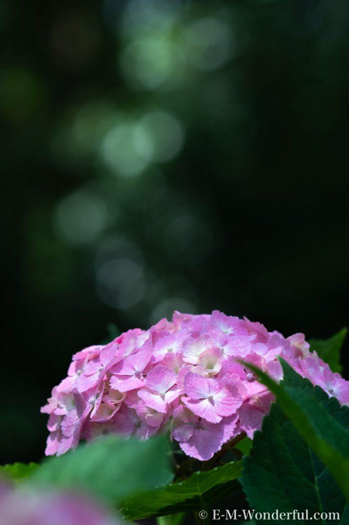 20190609 P6090108 682x1024 - 初心者でも簡単、デジイチで紫陽花(アジサイ)を綺麗に撮る方法