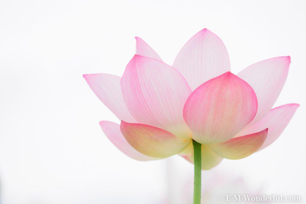20160731 P7310185 1024x682 - 初心者でも簡単、デジイチで蓮(ハス)を綺麗に撮る方法