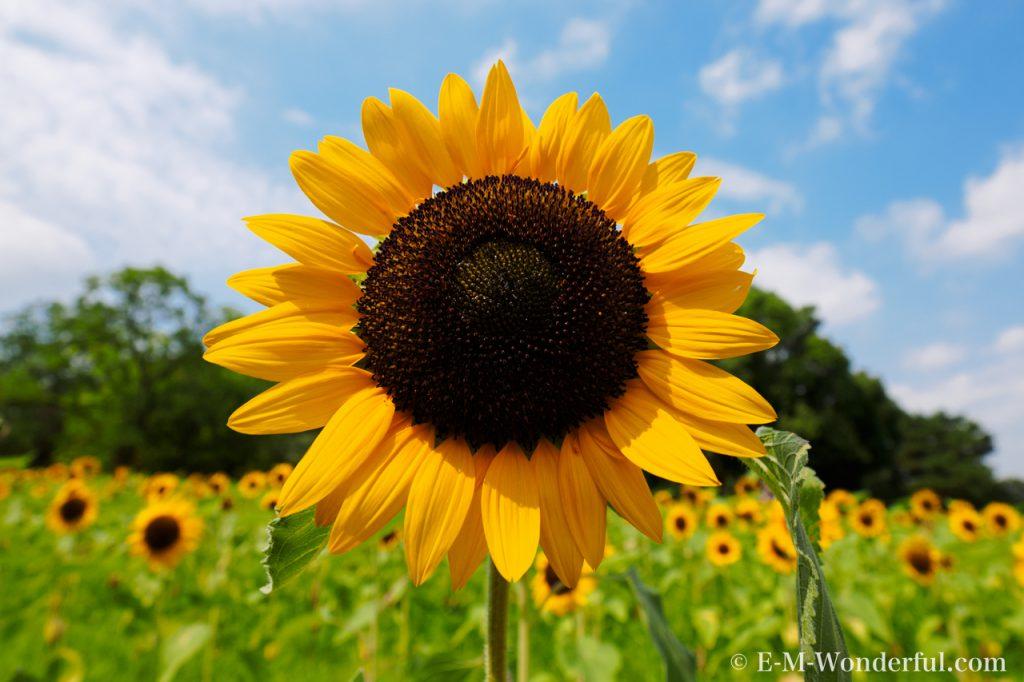 20160813 P8130071 2 1024x682 - 初心者でも簡単、デジイチで向日葵(ひまわり)を綺麗に撮る方法