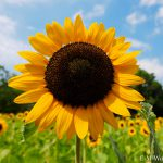 20160813 P8130071 2 150x150 - 初心者でも簡単、デジイチで向日葵(ひまわり)を綺麗に撮る方法
