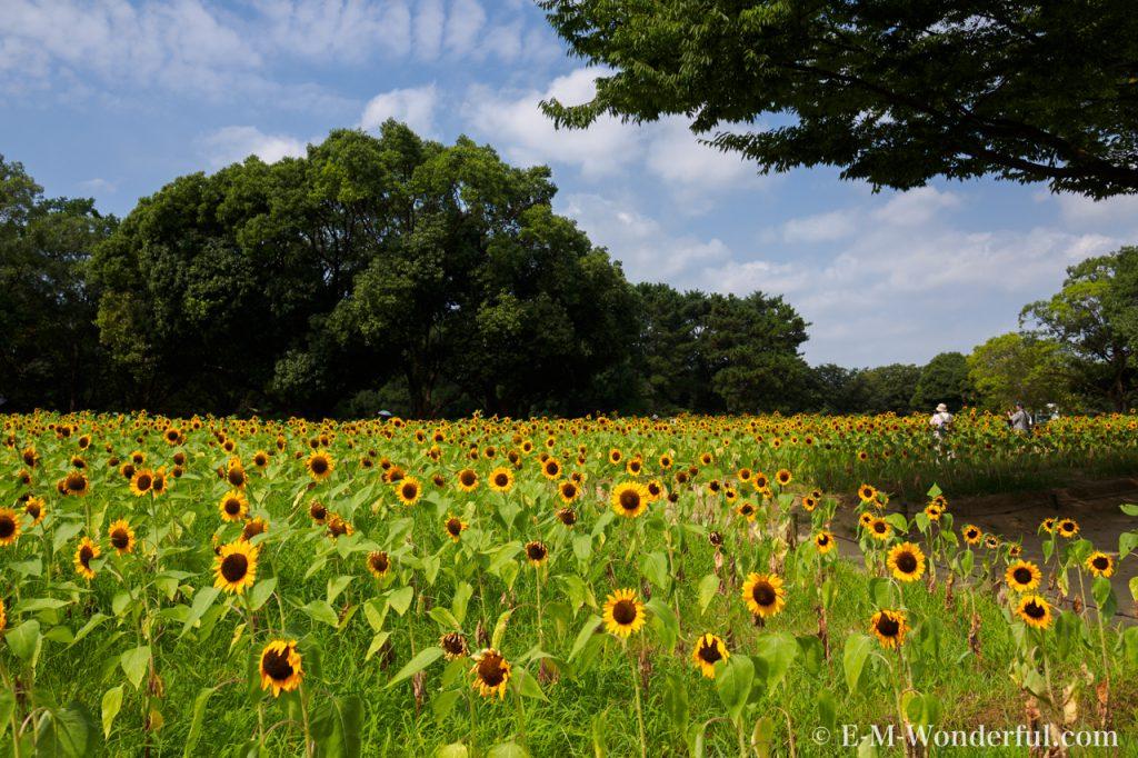 20160813 P8130078 1024x682 - 万博記念公園に向日葵(ひまわり)を見に行ってきました