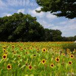20160813 P8130078 150x150 - 万博記念公園に向日葵(ひまわり)を見に行ってきました