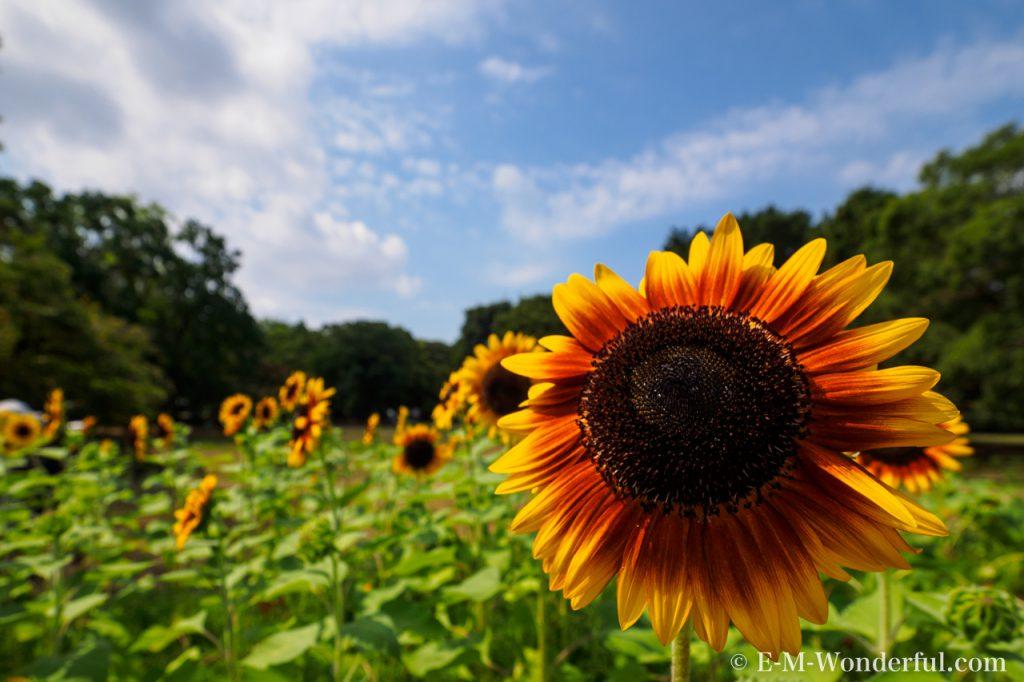20160813 P8130096 1024x682 - 初心者でも簡単、デジイチで向日葵(ひまわり)を綺麗に撮る方法
