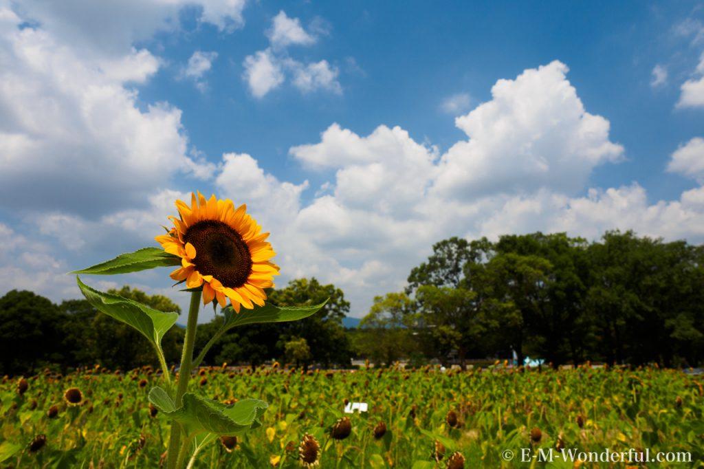 20160813 P8130382 1024x682 - 初心者でも簡単、デジイチで向日葵(ひまわり)を綺麗に撮る方法