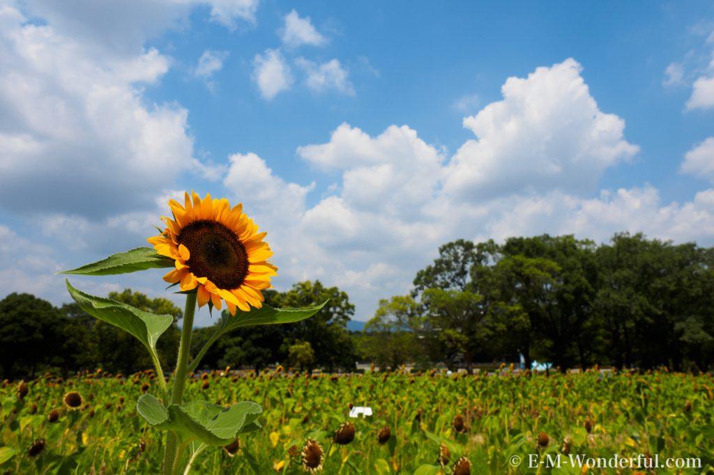 20160813 P8130383 1024x682 - 初心者でも簡単、デジイチで向日葵(ひまわり)を綺麗に撮る方法