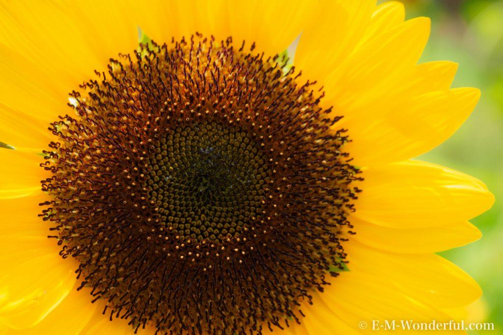 20160813 P8130409 1024x682 - 初心者でも簡単、デジイチで向日葵(ひまわり)を綺麗に撮る方法