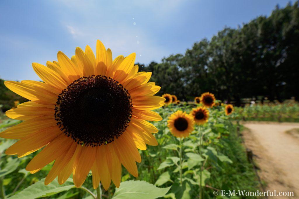 20160813 P8130638 1024x682 - 万博記念公園に向日葵(ひまわり)を見に行ってきました