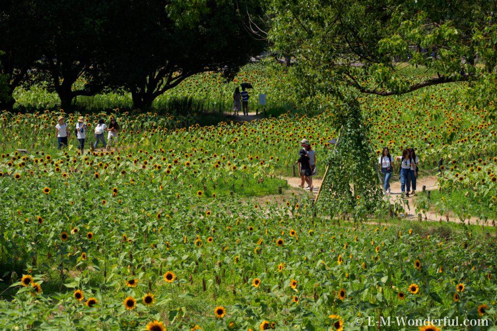 20160813 P8130655 1024x682 - 万博記念公園に向日葵(ひまわり)を見に行ってきました