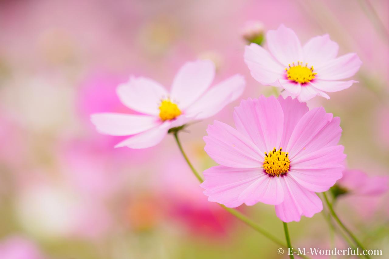 20151010 PA100091 - 初心者でも簡単、デジイチで秋桜(コスモス)を綺麗に撮る方法