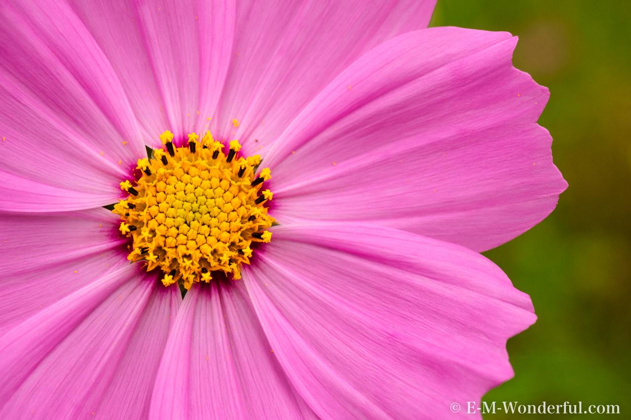 20151010 PA100198 - 初心者でも簡単、デジイチで秋桜(コスモス)を綺麗に撮る方法