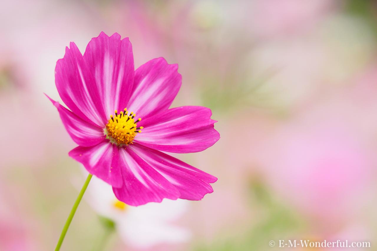 20151010 PA100249 2 - 初心者でも簡単、デジイチで秋桜(コスモス)を綺麗に撮る方法