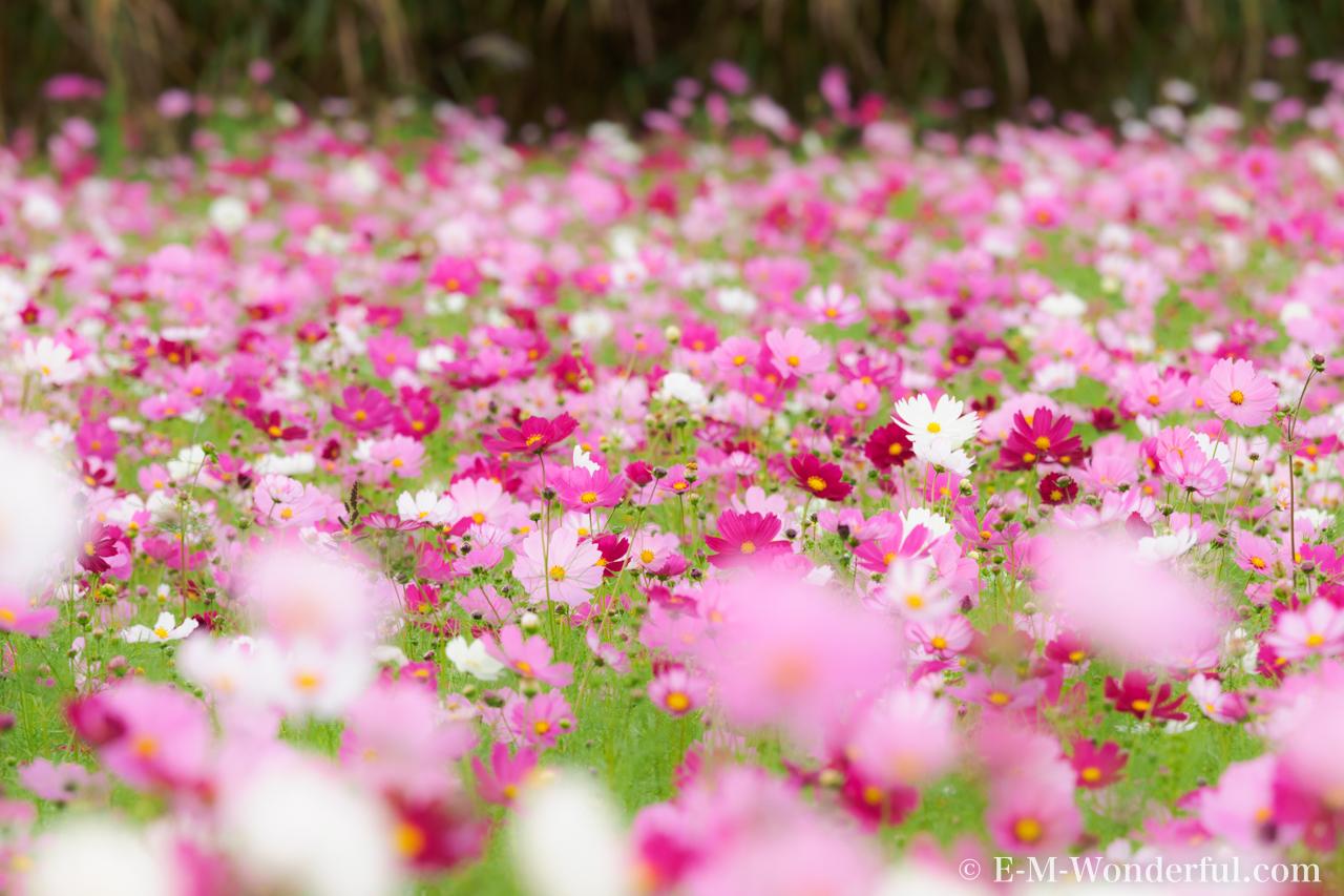 20151012 PA120350 - 初心者でも簡単、デジイチで秋桜(コスモス)を綺麗に撮る方法