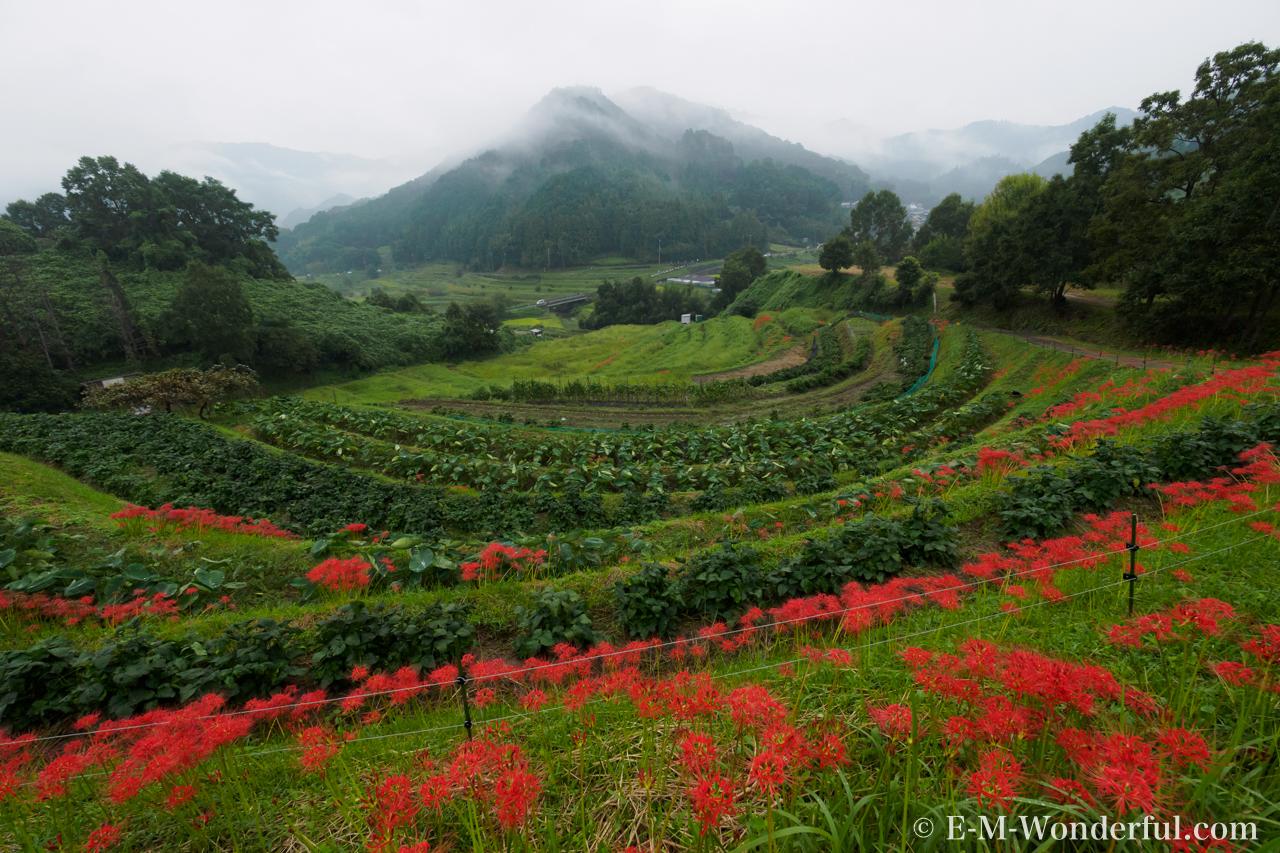 20160924 P9240313 - 明日香村に彼岸花(ヒガンバナ)を見に行ってきました