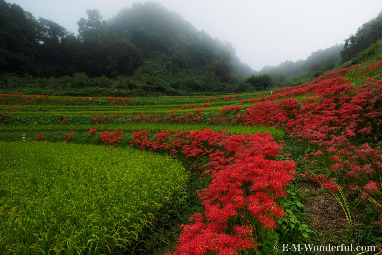20160924 P9240446 - 明日香村に彼岸花(ヒガンバナ)を見に行ってきました