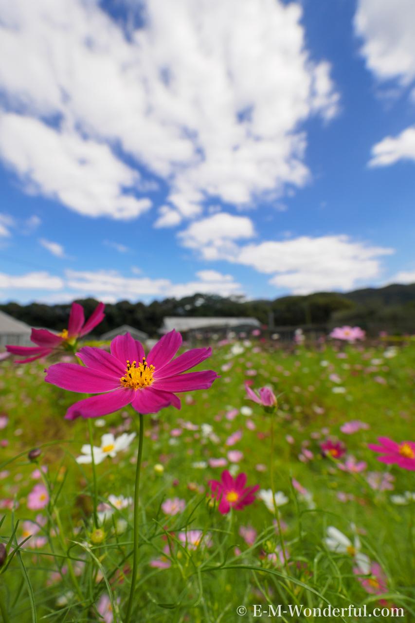 20161010 PA100054 - 初心者でも簡単、デジイチで秋桜(コスモス)を綺麗に撮る方法