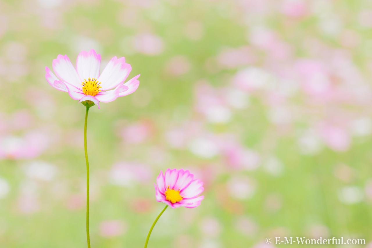 20161010 PA100073 - 初心者でも簡単、デジイチで秋桜(コスモス)を綺麗に撮る方法