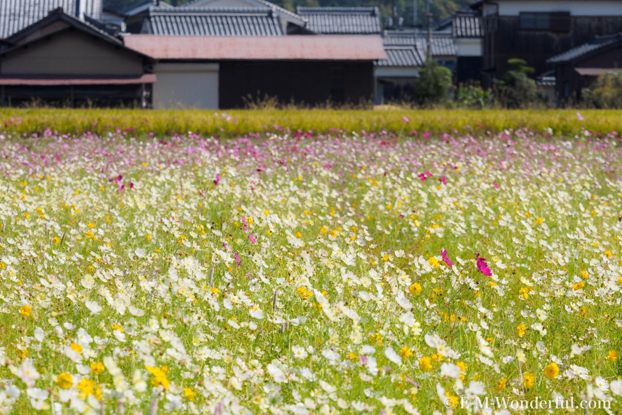 20161015 PA150350 - コスモス(秋桜)の名所、藤原宮跡に行ってきました