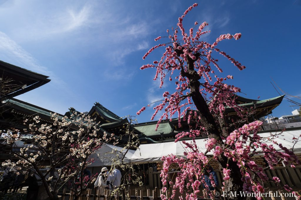 20170226 P2260100 1024x682 - 大阪天満宮に「盆梅と盆石展」を見に行ってきました