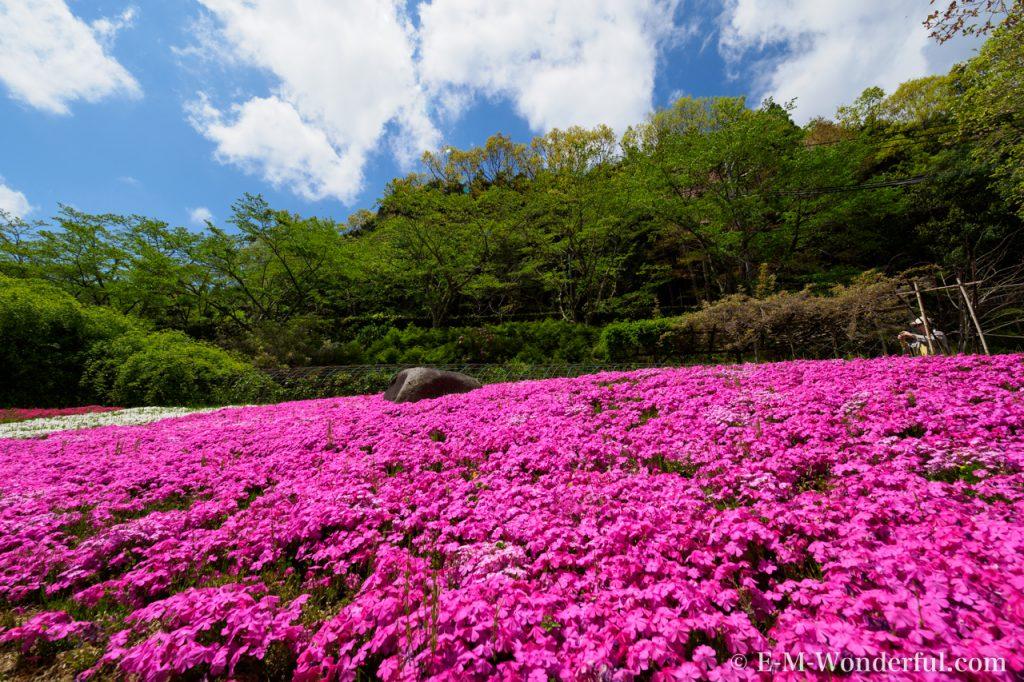20170504 P5040045 1024x682 - 滝谷花しょうぶ園で、満開の芝桜を見てきました