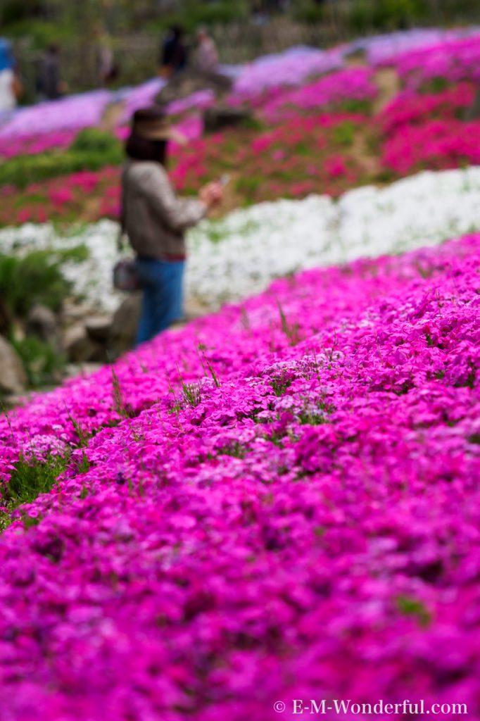 20170504 P5040269 682x1024 - 滝谷花しょうぶ園で、満開の芝桜を見てきました