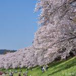 20180330 P3300340 AuroraHDR2018 edit 1 150x150 - 京都の人気お花見スポット、淀川河川公園背割提の桜を見に行ってきました