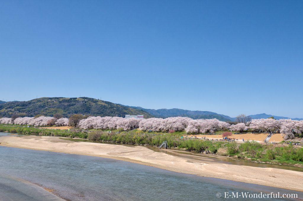 20180330 P3301020 AuroraHDR2018 edit 1024x680 - 京都の人気お花見スポット、淀川河川公園背割提の桜を見に行ってきました