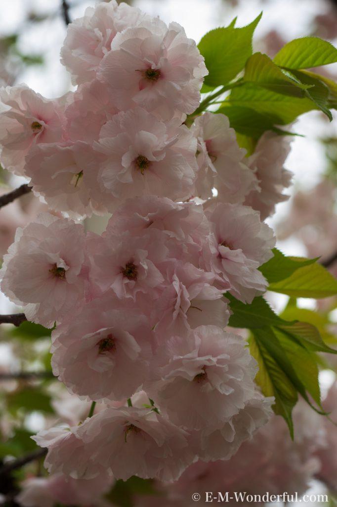 20150411 P4110068 2 682x1024 - 初心者でも簡単、デジイチで桜(さくら)を綺麗に撮る方法