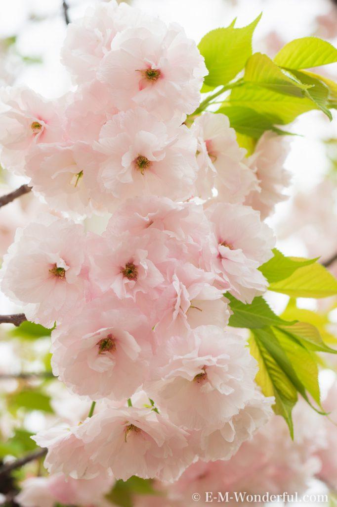 20150411 P4110068 682x1024 - 初心者でも簡単、デジイチで桜(さくら)を綺麗に撮る方法