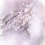 20180330 P3300403 150x150 - 初心者でも簡単、デジイチで桜(さくら)を綺麗に撮る方法